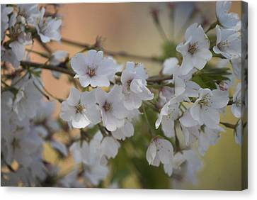 Canvas Print featuring the photograph Cherry Blossom 4 by Lisa Missenda