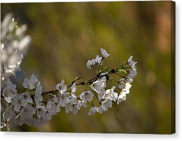 Canvas Print featuring the photograph Cherry Blossom Branch by Lisa Missenda