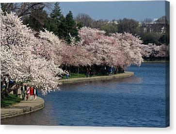 Cherry Blossom Festival, Jefferson Canvas Print by Richard Nowitz