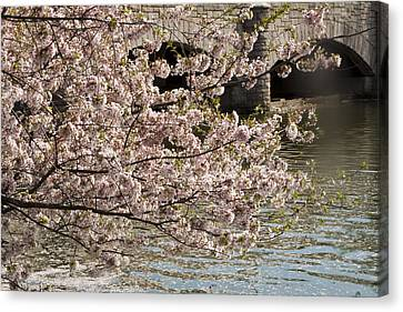 Canvas Print featuring the photograph Cherry Blossom On Potomic by Darleen Stry