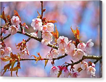 Cherry Blossom Canvas Print by T. Kurachi