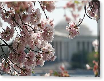 Cherry Blossom Washington Canvas Print by Valia Bradshaw