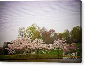 Cherry Blossoms At Meadowlark Canvas Print by Susan Isakson