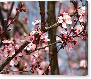Cherry Blossoms Canvas Print by Denise Keegan Frawley