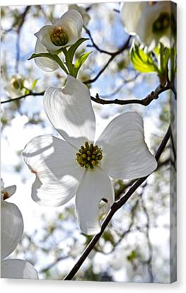 Cherry Blossoms I Canvas Print by Glennis Siverson