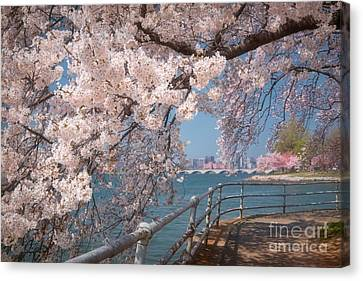 Cherry Blossoms On The Potomac Five Canvas Print by Susan Isakson