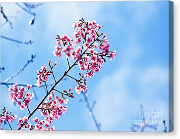Cherry Blossoms Sakura Canvas Print by Chaloemphan Prasomphet