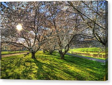 Cherry Blossoms  Canvas Print by Shirley Tinkham