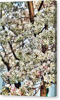 Cherry Blossoms Washington Dc 2 Canvas Print by Metro DC Photography