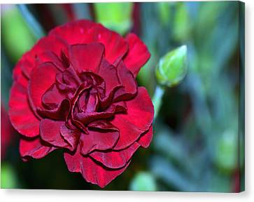 Cherry Red Carnation Canvas Print by Sandi OReilly