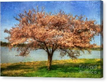 Cherry Tree Canvas Print by Lois Bryan