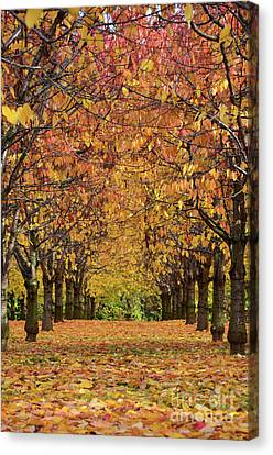 Canvas Print featuring the photograph Cherry Tree Plantation by Bruno Santoro
