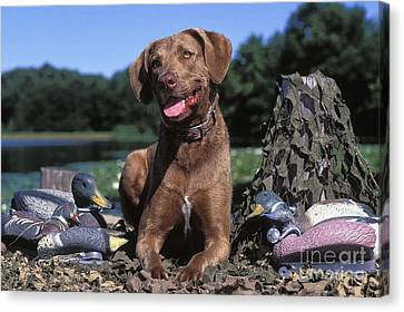 Chessie And Decoys - Fs000666 Canvas Print by Daniel Dempster