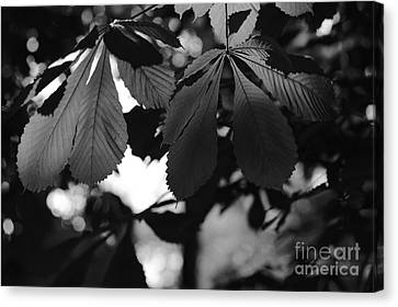 Chestnut Leaves Canvas Print