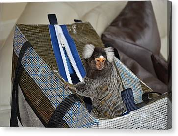 Chewy The Marmoset Going Fishing Canvas Print by Barry R Jones Jr