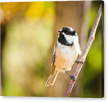 Canvas Print featuring the photograph Chickadee by Cheryl Baxter