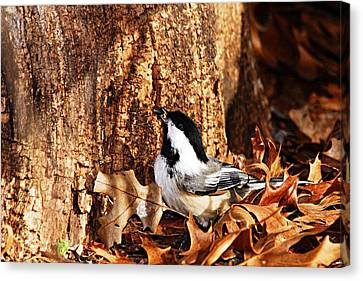 Chickadee With Sunflower Seed Canvas Print by Larry Ricker