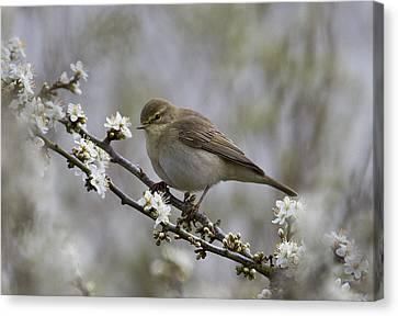 Chiff Chaff On Blackthorn Blossom Canvas Print