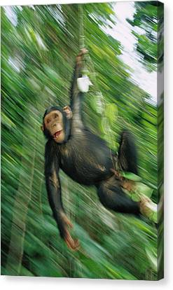 Chimpanzee Pan Troglodytes Juvenile Canvas Print by Cyril Ruoso