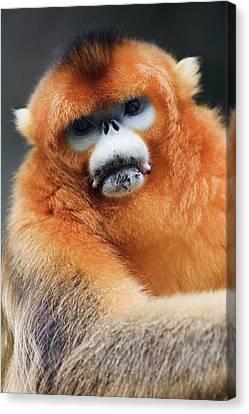 China, Shaanxi Province, Golden Monkey (rhinopithecus Roxellana ) Canvas Print by Jeremy Woodhouse