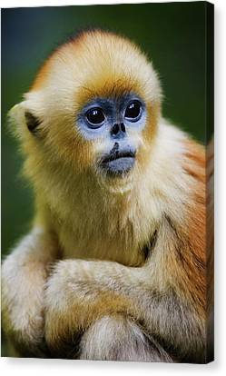 China, Shaanxi Province, Young Golden Monkey (rhinopithecus Roxellana) Canvas Print by Jeremy Woodhouse