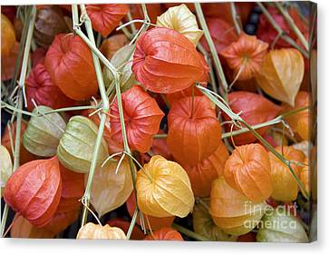 Chinese Lantern Flowers Canvas Print