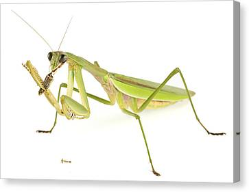 Chinese Mantis Feeding On Prey Canvas Print by Piotr Naskrecki