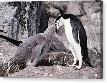 Chinstrap Penguin Feeding Chick Canvas Print by Doug Allan