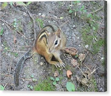 Canvas Print featuring the photograph Chipmunk Feast by Laurel Best