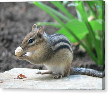 Canvas Print featuring the photograph Chipmunk by Laurel Best