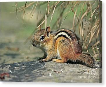Chipmunk On A Warm Summer Evening Canvas Print by Inspired Nature Photography Fine Art Photography