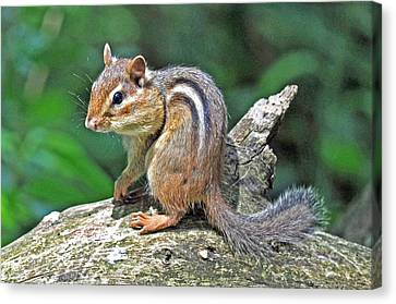 Canvas Print featuring the photograph Chipmunk by Rodney Campbell