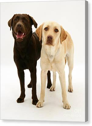 Chocolate And Yellow Labrador Retrievers Canvas Print by Mark Taylor