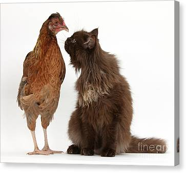 House Pet Canvas Print - Chocolate Cat And Chicken by Mark Taylor