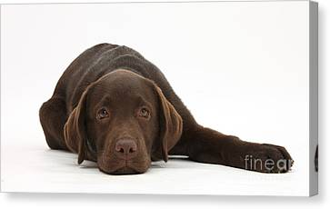 Chocolate Lab Pup Lying Down Canvas Print by Mark Taylor