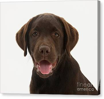 Chocolate Lab Puppy Canvas Print by Mark Taylor