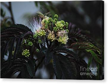 Chocolate Mimosa Tree Canvas Print by Mark McReynolds