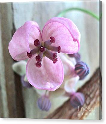 Chocolate Vine Young Bloom Macro Canvas Print by Padre Art