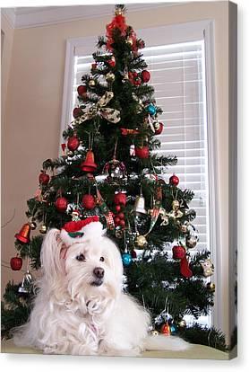 Maltese Canvas Print - Christmas Card Dog by Vijay Sharon Govender