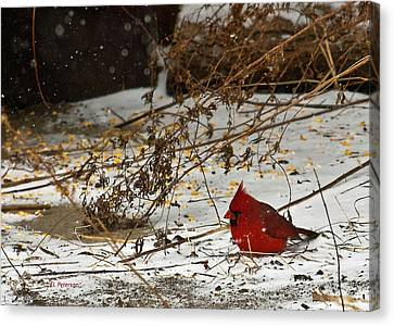 Christmas Cardinalthe  Canvas Print by Edward Peterson