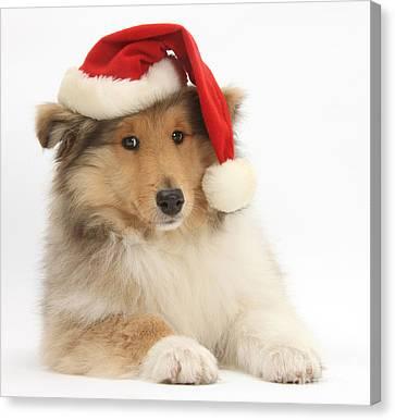 Christmas Collie Pup Canvas Print