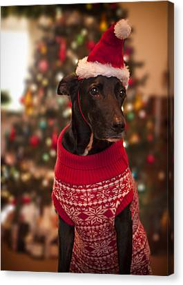 Christmas Dressed Up Dog Canvas Print by Malcolm Smith