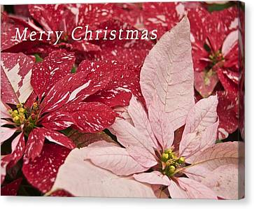 Christmas Poinsettias Canvas Print by Michael Peychich