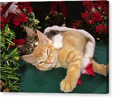 Christmas Time W Two Cats Together - Baby Maine Coon Kitty Cuddling With Smug Orange Tabby Kitten Canvas Print by Chantal PhotoPix