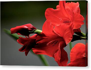 Chromatic Gladiola Canvas Print