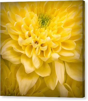 Chrysanthemum Flower Canvas Print by Ian Barber