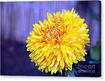 Canvas Print featuring the photograph Chrysanthemum by Pravine Chester