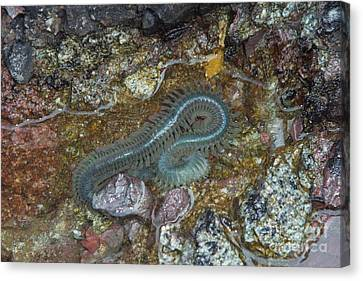Clam Worm Canvas Print by Ted Kinsman