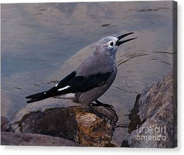 Canvas Print featuring the photograph Clark's Nutcracker by Cheryl Baxter