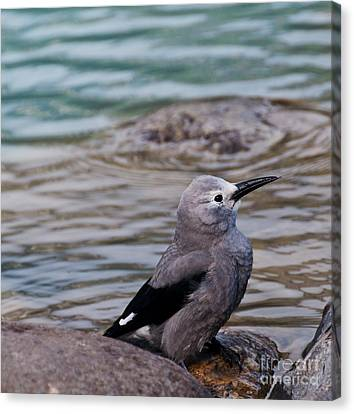 Canvas Print featuring the photograph Clark's Nutcracker2 by Cheryl Baxter
